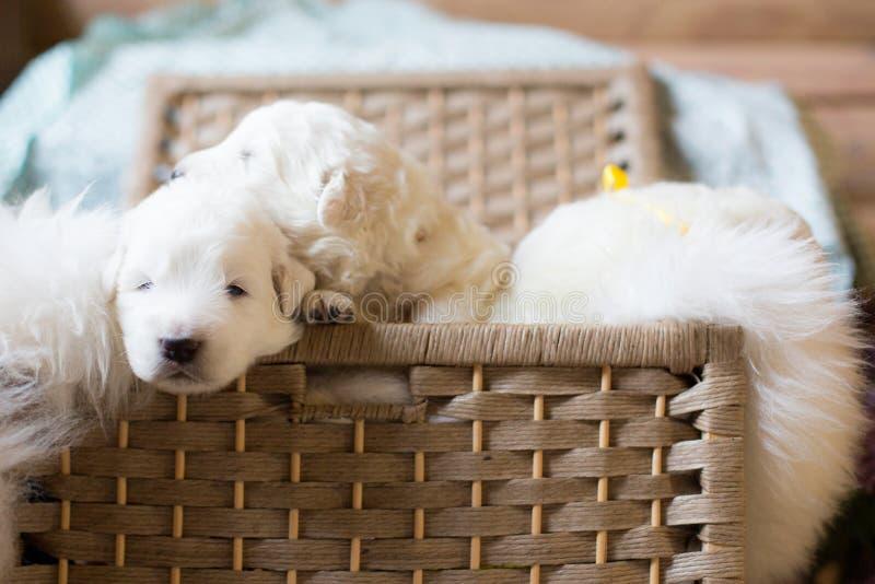 Группа в составе симпатичные щенята овчарки maremma с лентами Щенята сладостного maremmano белые сидя в плетеной корзине стоковые фото