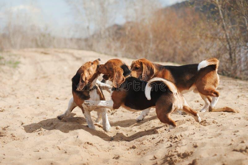 Группа в составе смешной ход собаки бигля стоковые фотографии rf