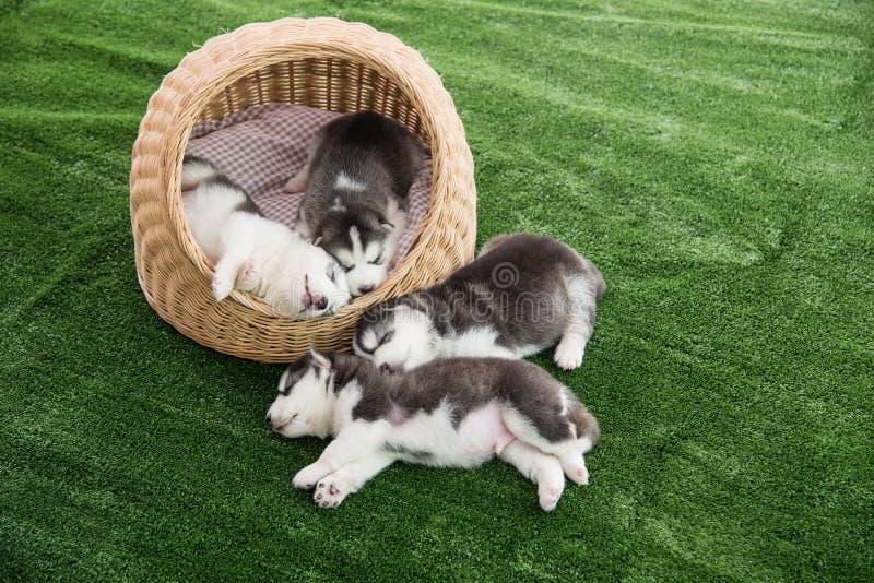 Группа в составе спать щенят сибирской лайки стоковые фотографии rf