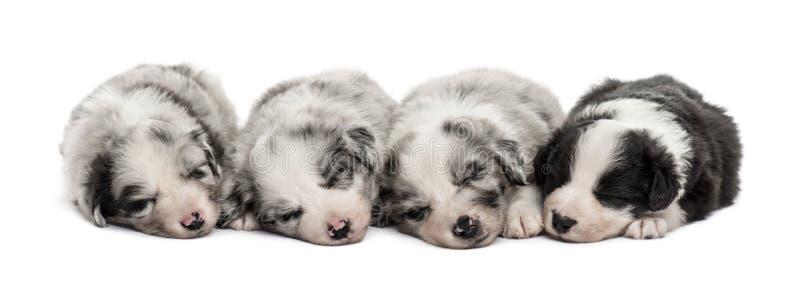 Группа в составе спать щенят crossbreed изолированный на белизне стоковое изображение