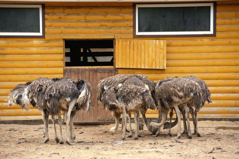 Группа в составе страусы на ферме в солнечном дне стоковое изображение