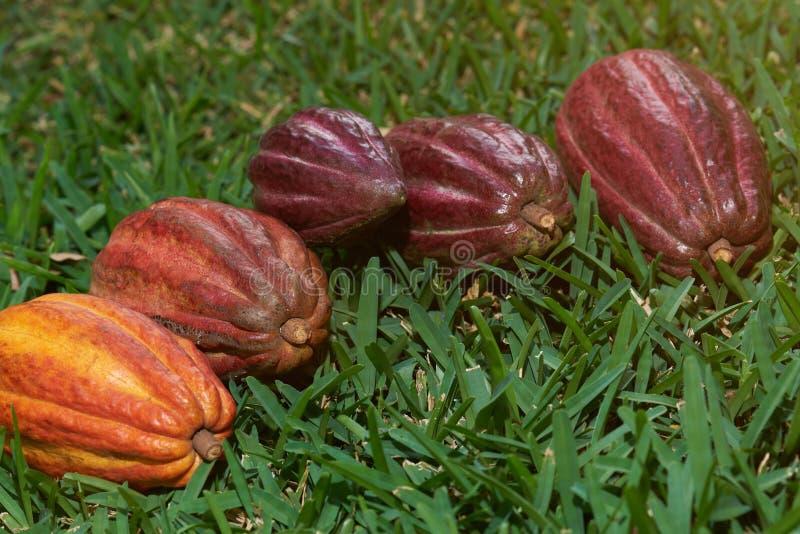 Группа в составе стручки какао кладет на зеленую траву стоковые фотографии rf