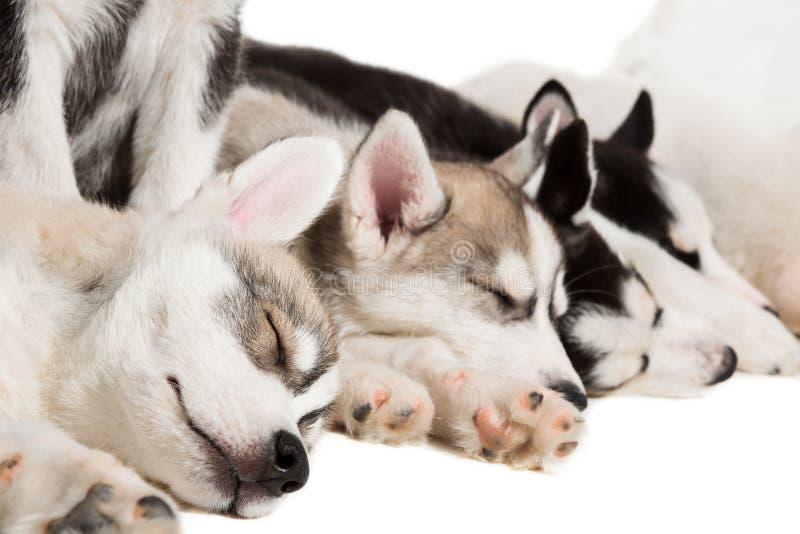 Группа в составе счастливые щенята сибирской лайки на белизне стоковая фотография rf