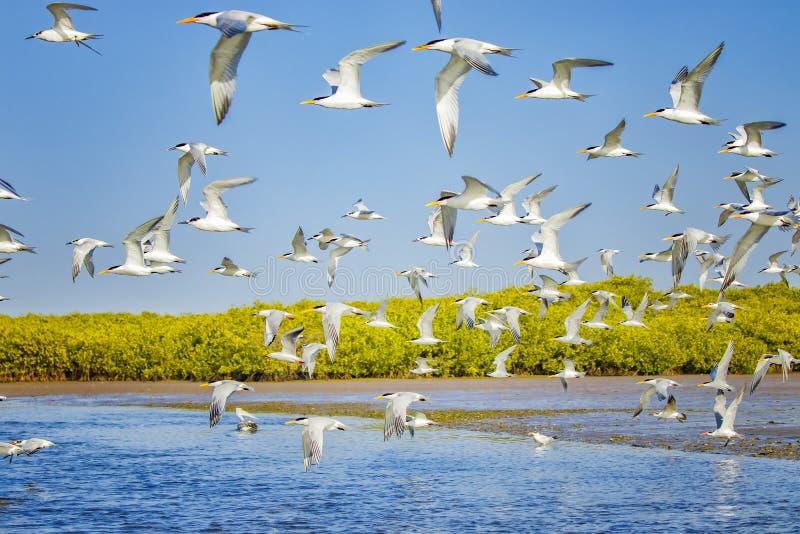 Группа в составе тройки сэндвича в парках морской птицы и запасы Сенегала, Африки Они areflying в лагуне Somone Заход солнца стоковое изображение rf