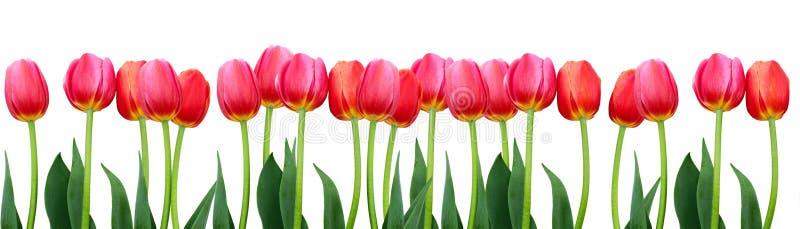 Группа в составе тюльпаны цветков розовые на белой предпосылке стоковое фото rf
