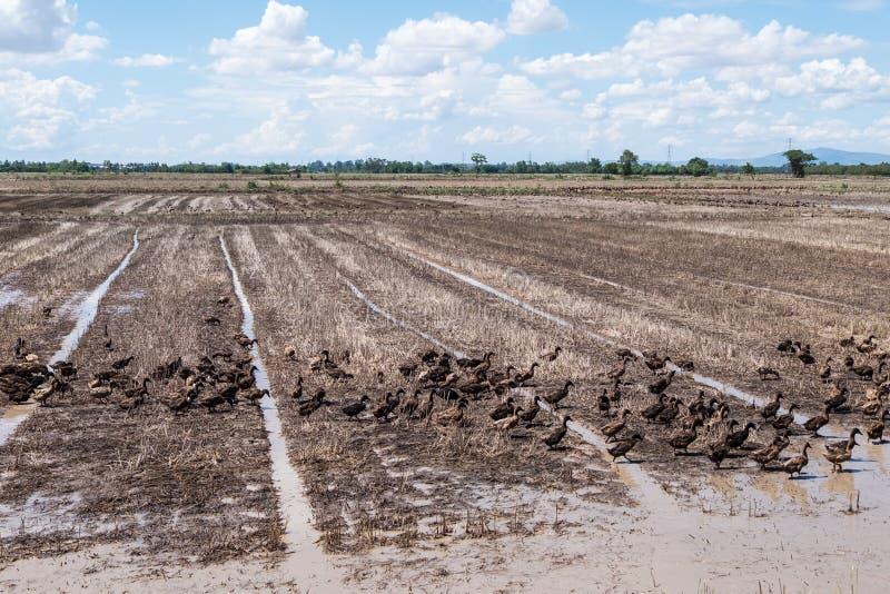 Группа в составе утка в рисовых полях стоковые фото