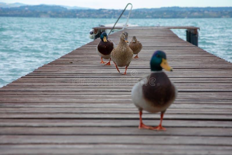 Группа в составе утки на пристани стоковая фотография rf
