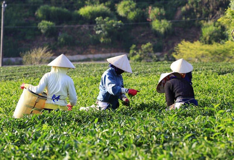 Группа в составе фермеры выбирая чай стоковое фото rf