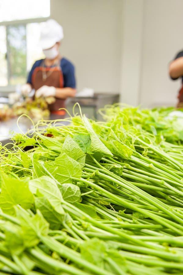 Группа в составе фермеры женщин комплектуя и упаковывая другие овощи свежего Chayote листья и в парнике Wang Nam Khiao, стоковая фотография