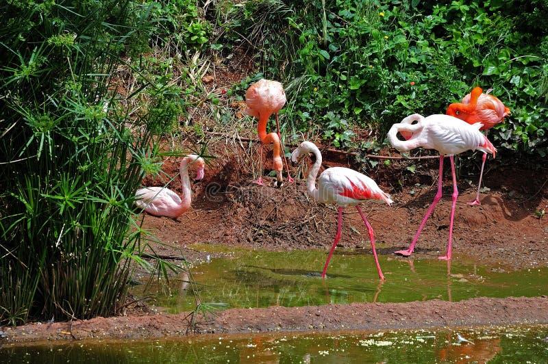 Группа в составе фламинго на береге озера стоковое фото