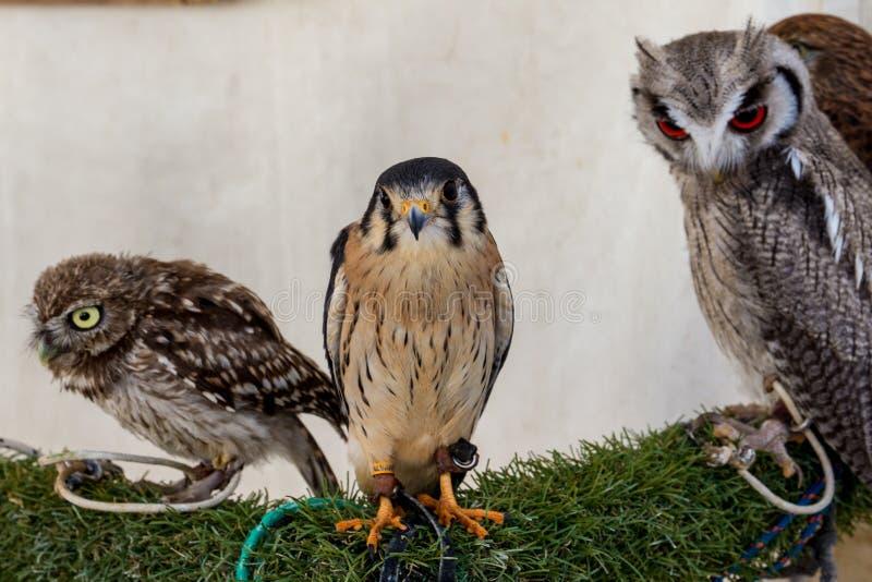Группа в составе хищные птицы, сыч, сокол и сыч - изображение - фото стоковые фото