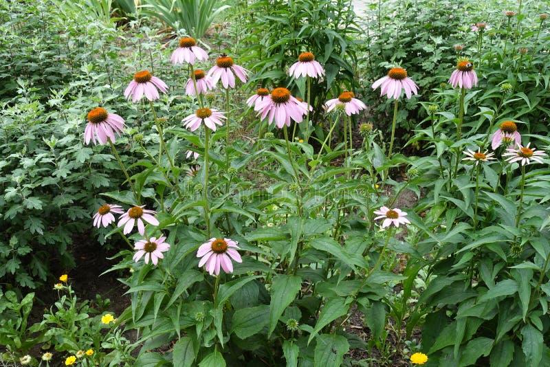 Группа в составе цветковые растения эхинацеи стоковое фото rf