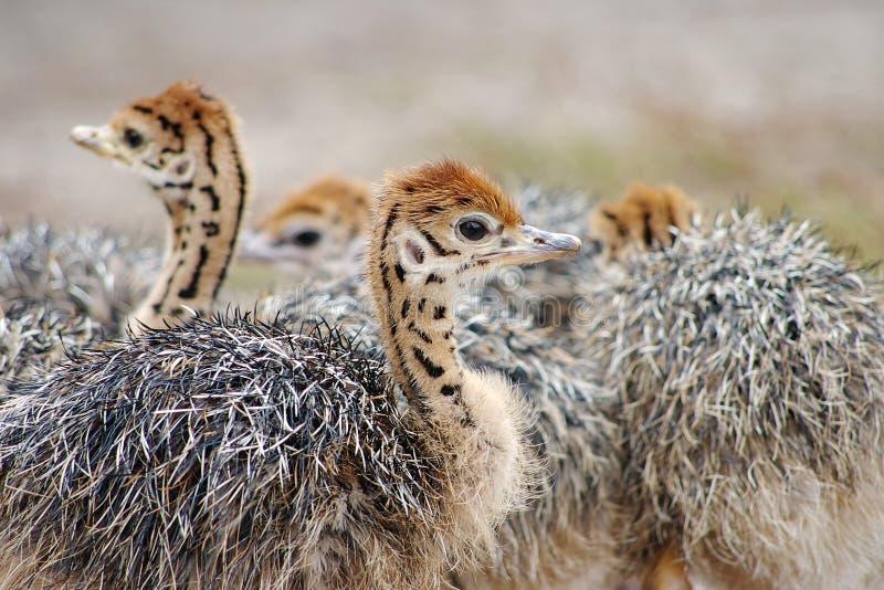 Группа в составе цыпленк-страусы с запятнанными шеями стоковые изображения