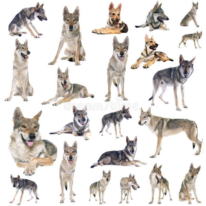 Группа в составе чехословацкая собака волка стоковое изображение