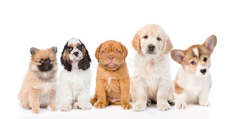 Группа в составе чистоплеменные щенята белизна изолированная предпосылкой стоковая фотография