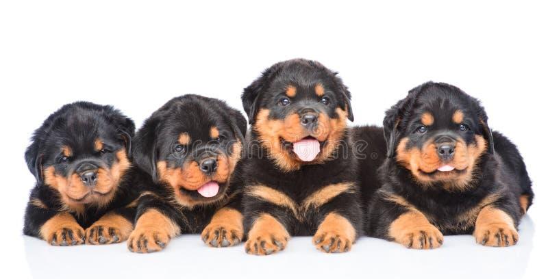 Группа в составе щенята Rottweiler лежа совместно в вид спереди стоковые фото