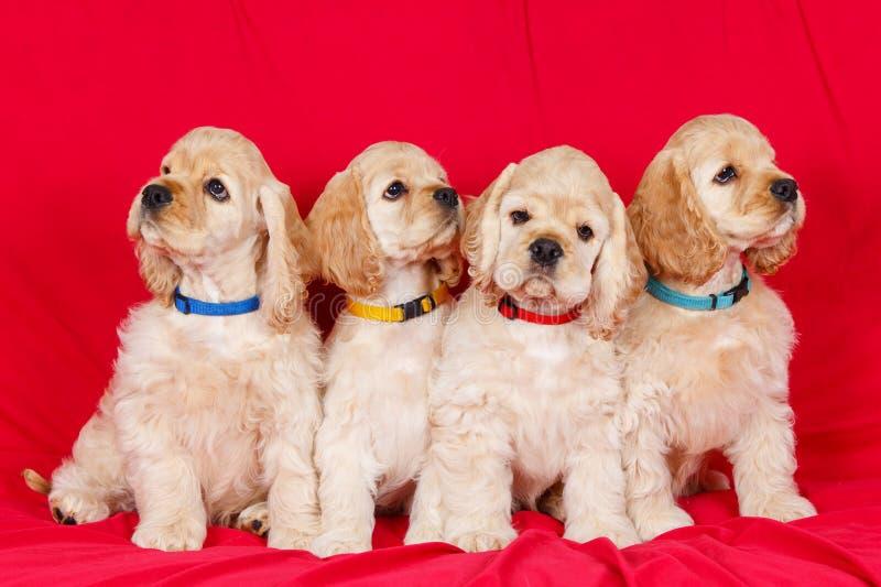 Группа в составе щенята spaniel американского кокерспаниеля стоковые изображения rf