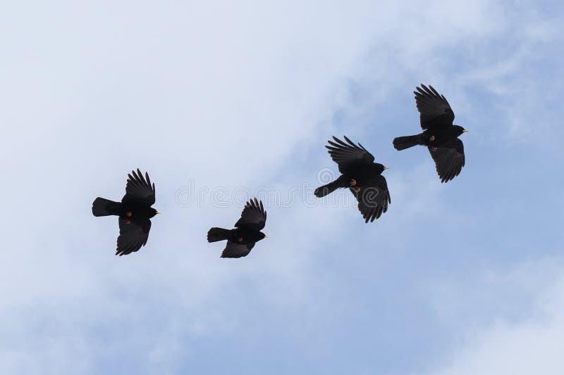 Группа в составе chough летания высокогорный или желт-представленное сче стоковые фотографии rf