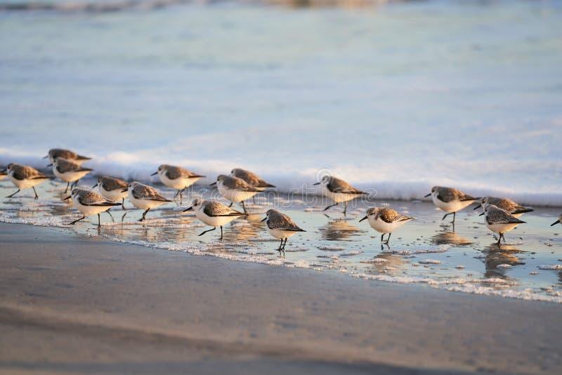 Группа в составе Sanderlings идя на берег стоковая фотография