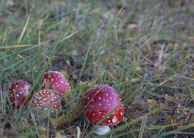 Группа в составе 4 toadstools в траве стоковые фотографии rf