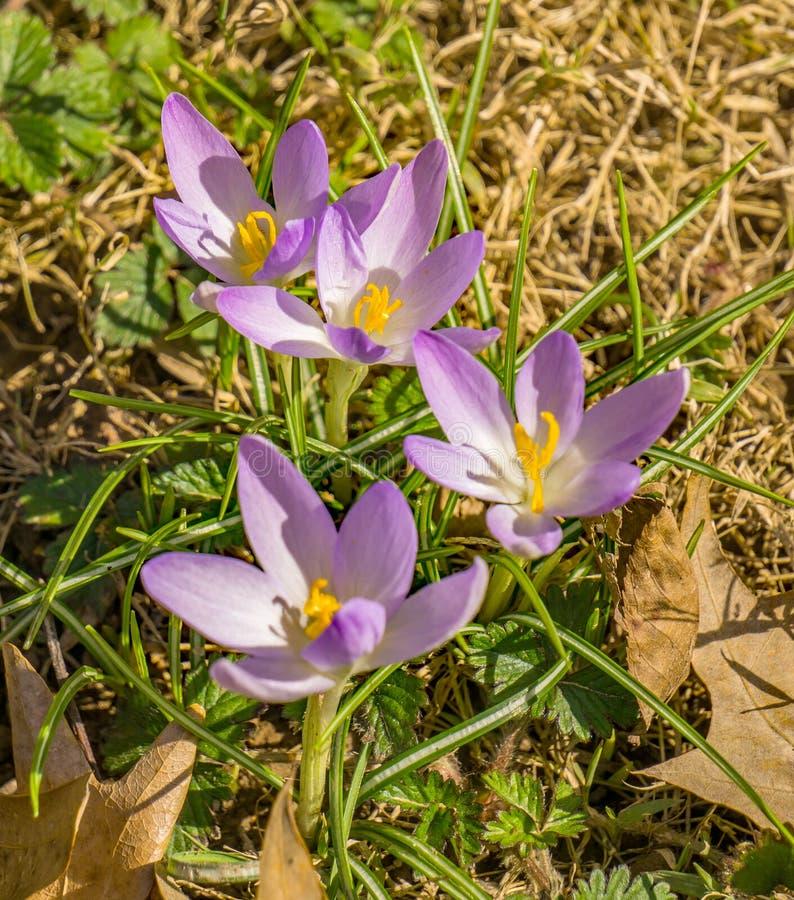 Группа в составе Wildflowers крокусов - первые цветки весны стоковое изображение