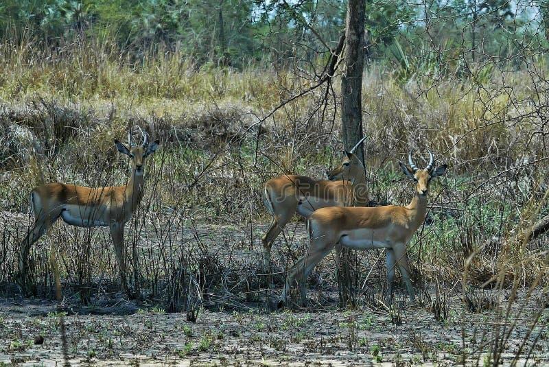 Группа импалы, melampus Aepyceros, национальный парк Gorongosa, Мозамбик стоковое фото