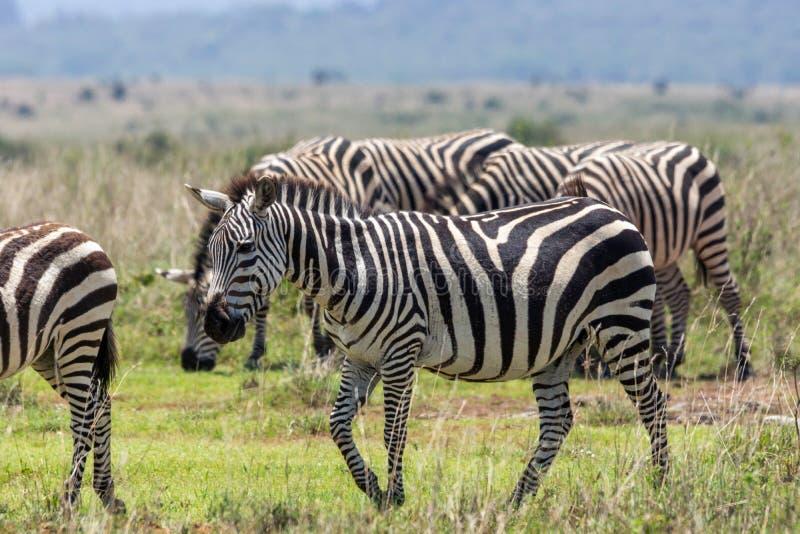 группа красивых зебр в национальном парке найроби в кении/африке стоковое изображение