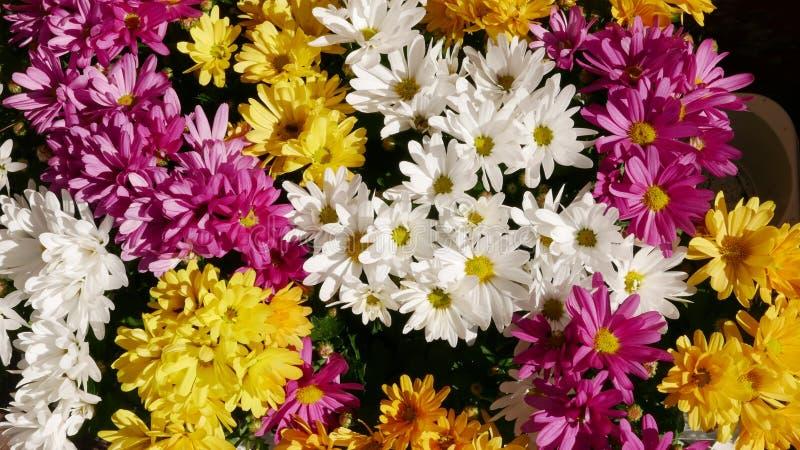 Группа маргариток в разных цветах стоковое изображение rf