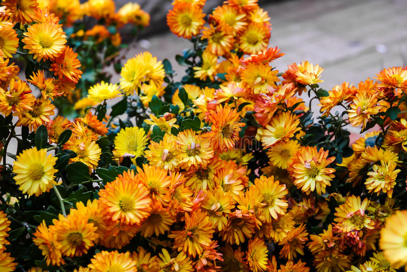 Группа оранжевой и желтой хризантемы цветет крупный план стоковое изображение rf