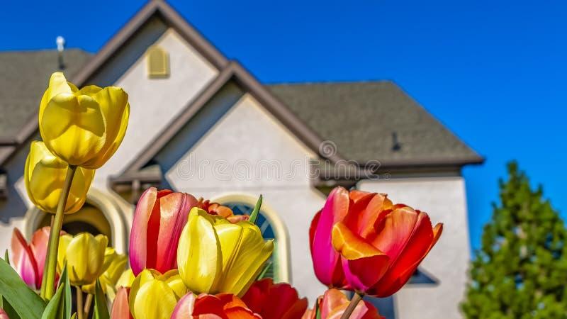 Группа панорамы ослеплять тюльпанов с сочной лужайкой и прекрасным домом на заднем плане стоковое изображение rf