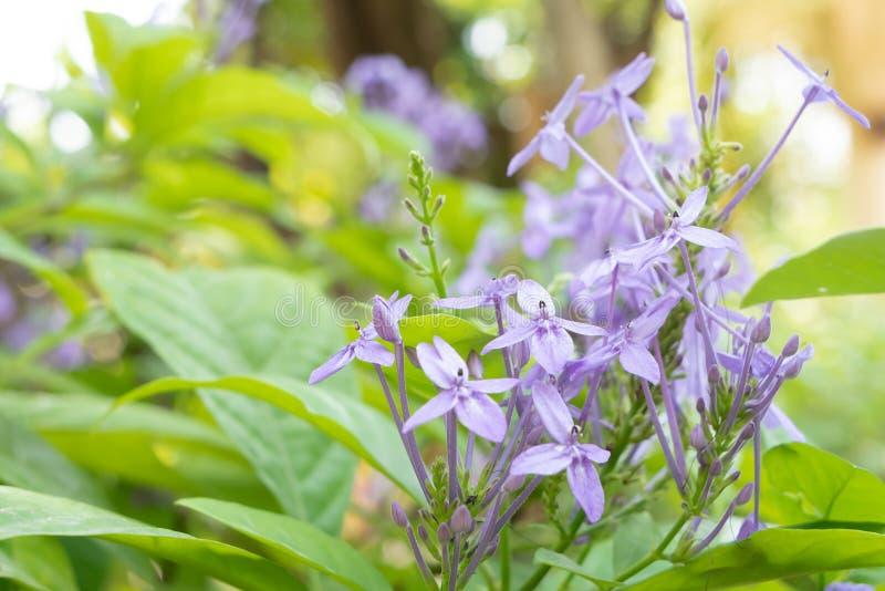 Группа предпосылка Lindau фиолетового andersonii Ixora или Pseuderanthemum стоковые изображения