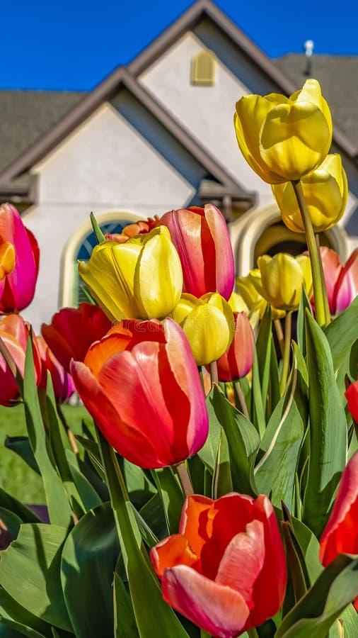 Группа рамки панорамы ослеплять тюльпанов с сочной лужайкой и прекрасным домом на заднем плане стоковые фото