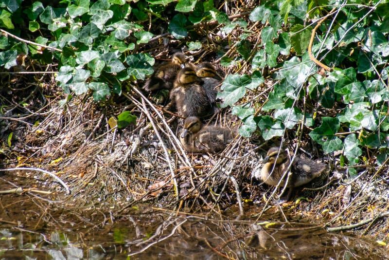 Группа утят кряквы ютилась совместно на берег реки береге реки спрятанных среди растительности стоковые изображения