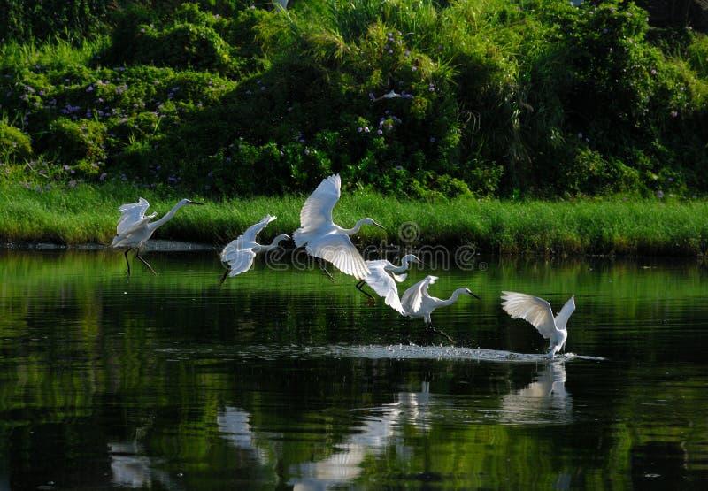 группа egrets стоковое изображение