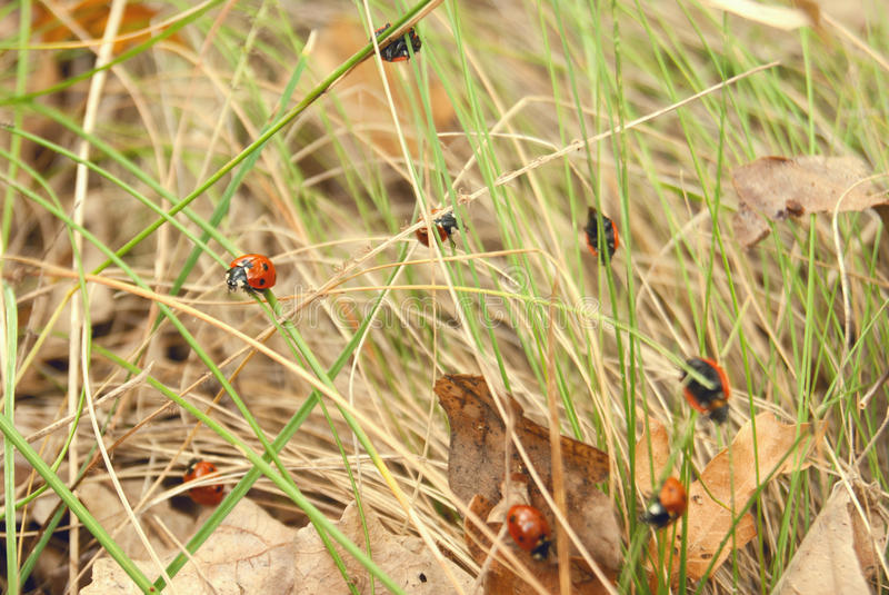 Группа ladybirds на траве стоковые изображения rf