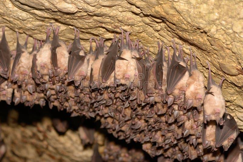 Группы в составе спать бить в пещере - меньшие мыш-ушастые blythii Myotis летучей мыши и hipposideros Rhinolophus - меньшая Horse стоковая фотография