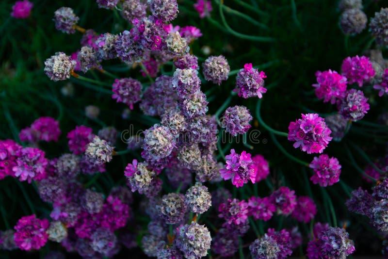 Группы ярких розовых цветков снятых сверху стоковое фото