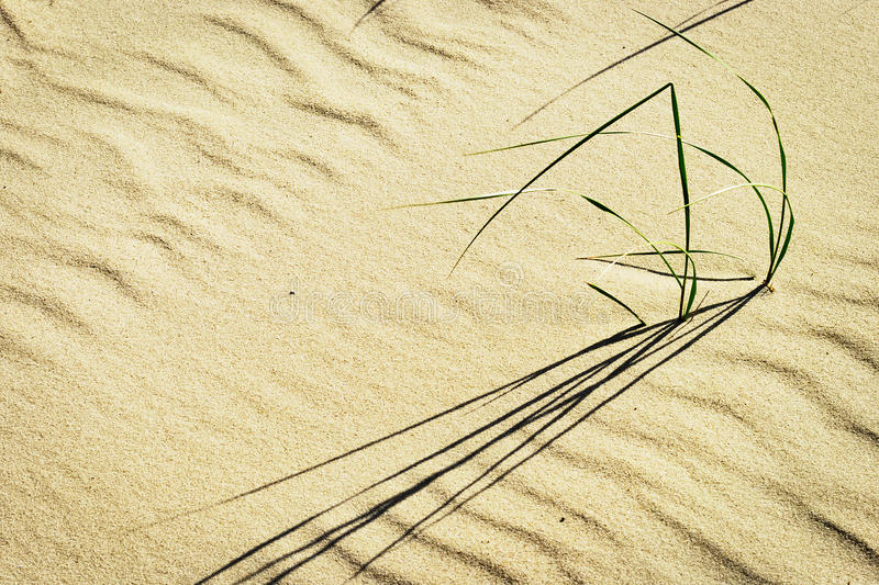 Группы arenarius Leymus райграса травы или песка пляжа растя на дюне на прибалтийском побережье стоковое изображение rf