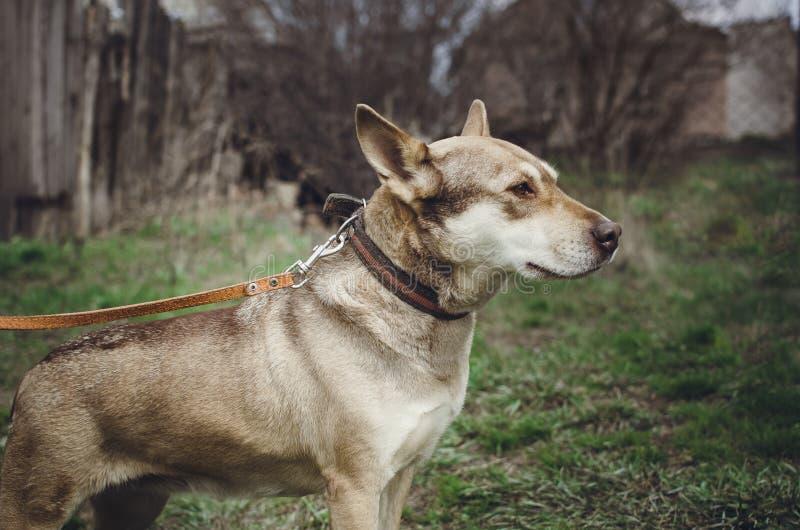 Грустная бездомная собака шавки стоковое фото
