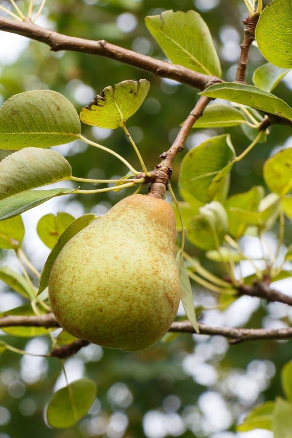 Груша зрея на грушевом дерев дереве стоковые фотографии rf