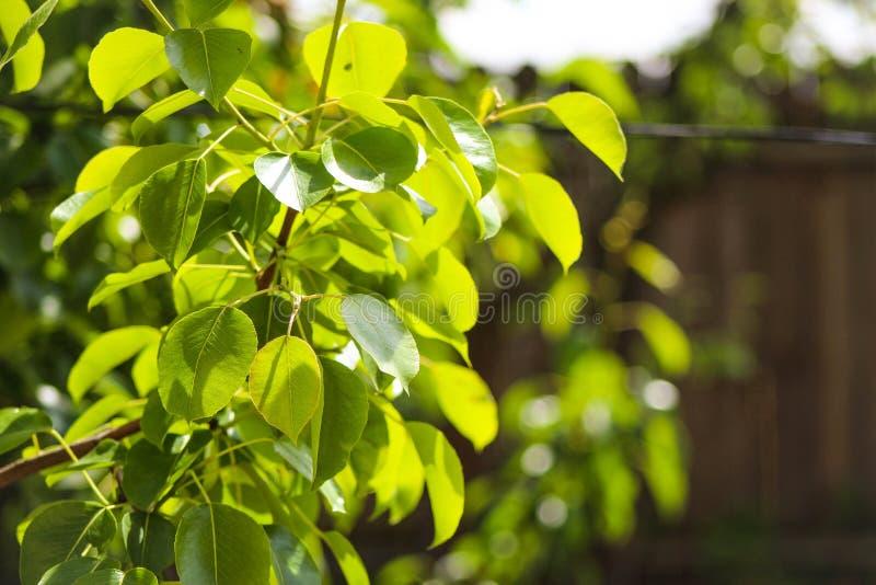 Грушевое дерев дерево выходит на фокус - запачканную предпосылку задворк стоковые фото