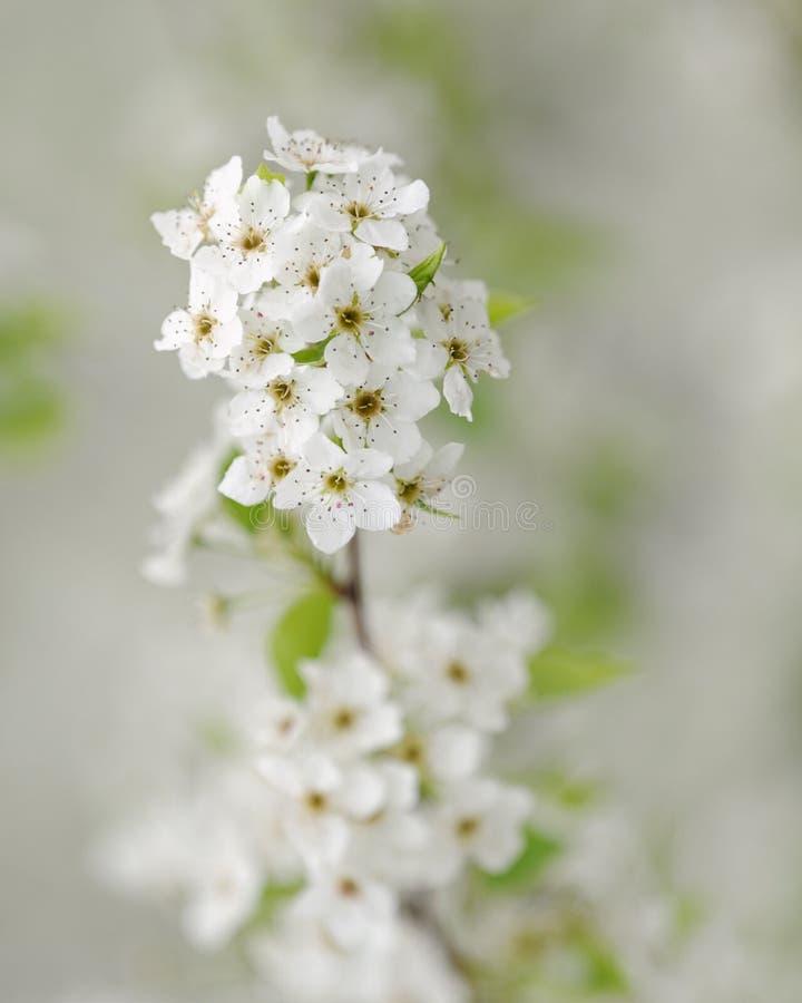 грушевое дерев дерево макроса цветения стоковая фотография