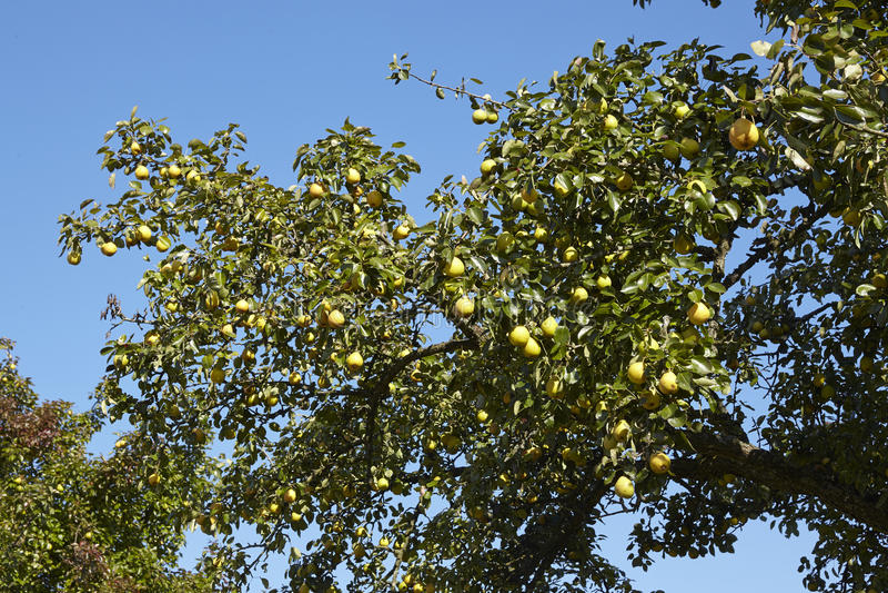 Грушевое дерев дерево - ветвь грушевого дерев дерева стоковые изображения