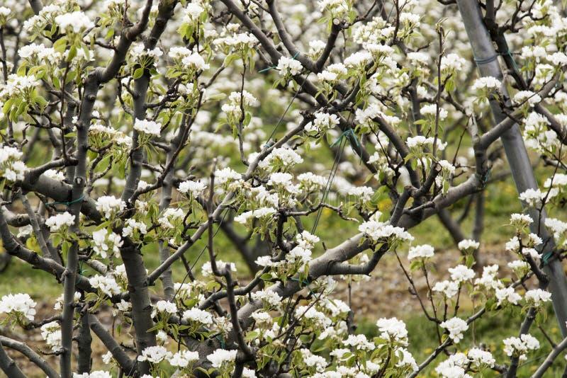 Грушевое дерев дерево в цветени стоковые изображения rf