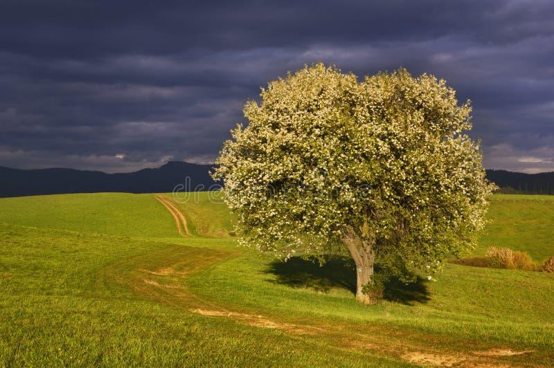 Грушевое дерев дерево и луга стоковое фото rf
