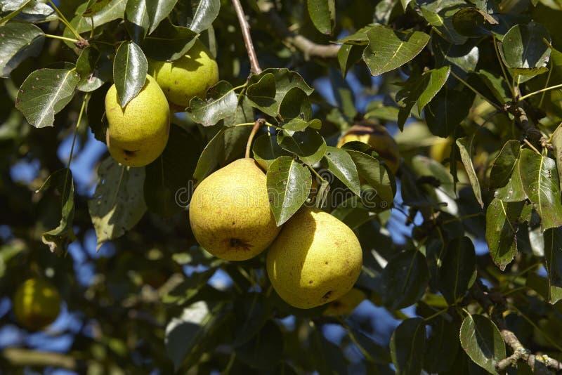 Грушевое дерев дерево - плодоовощи на ветви стоковая фотография