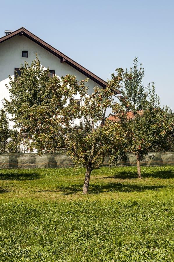 Грушевые дерев дерев стоковое фото