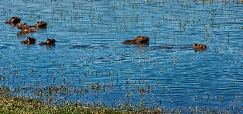 Грызуны капибары плавая в воде в Аргентине стоковая фотография rf
