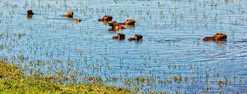 Грызуны капибары плавая в воде в Аргентине стоковое изображение rf