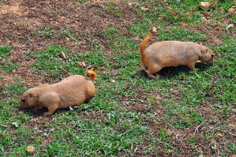 Грызуны собаки прерии подавая на траве стоковое фото rf